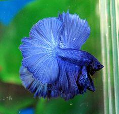 Blue Dragon betta
