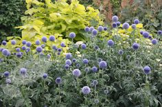 globe thistle. Full sun or partial shade. Flowers July and August.