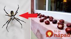 Jednoduchý trik, ako vyhnať z domu všetky pavúky: Utiekajte si nazbierať pár gaštanov, na háveď to funguje geniálne! Spider, Insects, Diy And Crafts, Cleaning, Table Decorations, Detox, Dresses, Gowns, Spiders