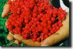 Shen Blossom - Traditionally Prepared Herbal Extracts and Foods - Shen Blossom Herbal Extracts, Watermelon, Herbalism, Fruit, Vegetables, Food, Meal, The Fruit, Essen