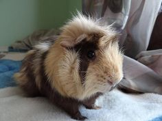 Russell the guinea pig