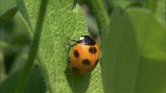 Sevenspotted lady beetle