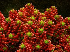 Sedum rubrotinctum - Jelly Bean Plant, Christmas Cheer is an evergreen, succulent perennial with sprawling, leaning stems, up to 8 inches (20 cm) tall...