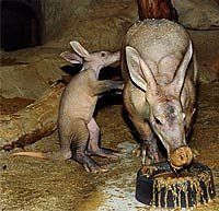 The Life and Times of the Baby Aardvark