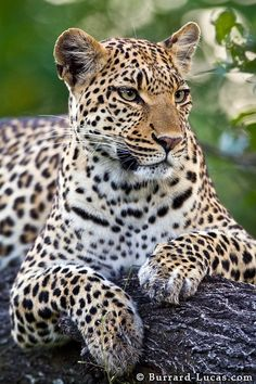This is a photo of a beautiful female leopard in the Okavango Delta, Botswana. She's the mother of this adorable leopard cub.
