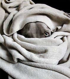 weimaraner - under the covers is where they like to be - and inside your bed is where they LOVE to be.