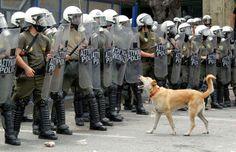 """#Datoanimal Lukanikos fue un #perro """"anarquista"""" que se hizo famoso en el mundo gracias a sus participaciones en las manifestaciones en Grecia en el 2010 #VetsMexico"""