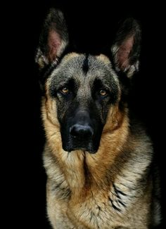 "They say that the German shepherd dog is the ""Mercedes amongst the dogs"" Loyal, brave, disciplined and smart, the German shepherd is truly a magnificent animal. Cute Husky Puppies, Husky Puppy, Dogs And Puppies, Big Dogs, I Love Dogs, Cute Dogs, Awesome Dogs, Beautiful Dogs, Animals Beautiful"