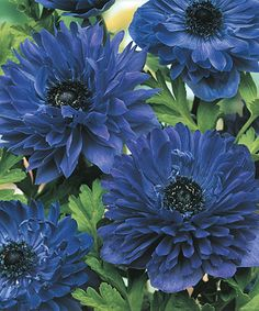 Hochwertig Lord Lieutenant Double Windflower   Set Of 15