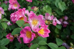 picture of polyantha roses