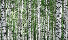 Trunks of Summer Birch Trees by Robert Madden Landscapes Photographic Print - 61 x 41 cm