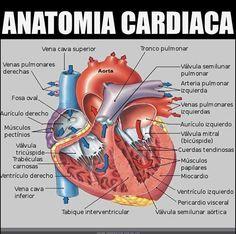 Anatomía cardíaca #informacion