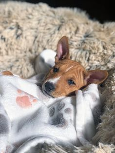 Big Dogs, Small Dogs, Cute Puppies, Cute Dogs, Basenji Puppy, Pharaoh Hound, Dangerous Dogs, Dog Blanket, Fleece Blankets