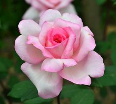 Busuioace cu miez roşu | Zdravăn Paradis, Garden, Roses, Interiors, Farm Gate, Plant, Fragrance, Garten, Pink