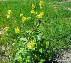 Capturing the Paso Robles Area with My Camera: It's Wild Mustard Season in the North County