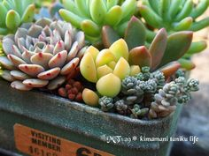 多肉Succulent小品 - 盆景藝術