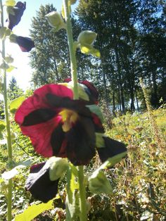 Salkoruusu Flowers, Royal Icing Flowers, Flower, Florals, Floral, Blossoms
