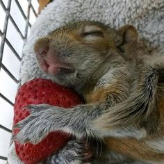 """The Dodo (@thedodo) on Instagram: """"Sometimes you just need to nap on a strawberry pillow. #monday #squirrelsquad #rescuesquirrel…"""""""