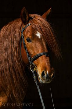 Beautiful golden brown horse with a white star on his pretty face. Paloued - Berber