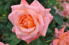 Pensioner's Voice - A glowing center of apricot orange with lighter pink outer petals make this rose one of the best roses available today. Each rose is beautifully formed and nicely scented. bloom with petals. Floribunda Roses, Best Roses, Painting The Roses Red, Heirloom Roses, David Austin Roses, Love Rose, Beautiful Roses, Rose Buds, Shrubs