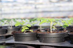 #Tomaten #Gärtner #Leidenschaft