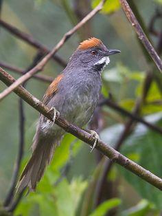 João-de-peito-escuro (Synallaxis albigularis)
