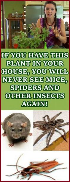 IF YOU HAVE THIS PLANT IN YOUR HOUSE, YOU WILL NEVER SEE MICE, SPIDERS AND OTHER INSECTS AGAIN!!!