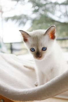 Image in Cats collection by Easygoingfuture on We Heart It Siamese Kittens, Baby Kittens, Kittens Cutest, Cats And Kittens, Pretty Cats, Beautiful Cats, Animals Beautiful, Cute Animals, Pretty Kitty