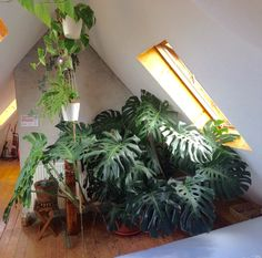 Hey Darryl, I just want to show my monstera deliciosa to someone who loves this plant as much as I do I love your blog Response: Wow! This is amazing! I love this little grow space you have -...