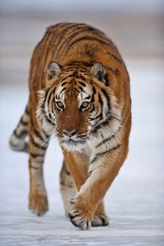 Siberian Tiger by catman-suha