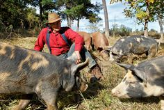 Popularizing confinement alternative: Preaching the Gospel of the Forest-Fed Pig - NYTimes.com - Joel Salatin raises his pigs the old-fashioned way, in the great outdoors, at his farm near Swoope, Va.