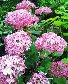 Hydrangea arborescens 'Invincibelle Spirit' (Invincibelle 'Pink Anabelle' in the Netherlands), 1st pink arborescens, very hardy, blooms on new wood. flowers from early summer until frost. When cut back after flowering, reblooms after 6 weeks! Trim in March for a busy shrub, or april in places that have late frosts. Grows well in both sun and shade, but don't place where there's full sun all day. 100 x 100 cm. $1.00 per each plant sold is donated to the Breast Cancer Research Foundation. 6x