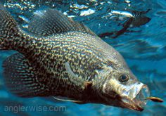 Ultimate guide on how to catch crappie including great fishing tips on the best lures and bait, the right equipment, and techniques for catching crappie. Crappie Lures, Crappie Fishing Tips, Carp Fishing, Trout Fishing, Saltwater Fishing, Fishing Tricks, Kayak Fishing, Crappie Jigs, Fishing Hole
