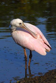 spoonbill near water #birds