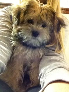 Ainsley the shorkie