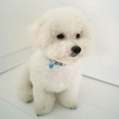 Bichon Frise: Hypoallergenic Dogs and Cats
