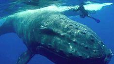 #Кит #Акула #Кука #Дайвинг Удивительный случай в районе островов Кука произошел с биологом Нэн Хаузер во время ее погружения с аквалангом. Ученая едва не стала жертвой акулы, а спасителем стал предмет ее наблюдений – горбатый кит.