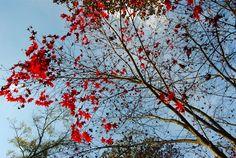 rojo red árbol tree ramas branch hojas leaves miraquechulo