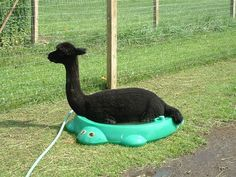Alpaca taking a bath - Click image to find more Animals Pinterest pins