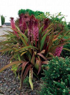 Eucomis 'Sparkling Burgandy'- 60 x 60 - Plant Growers Australia Pty Ltd Bulbs, Pineapple, Burgundy, Lily, Australia, Plants, Lightbulbs, Pine Apple, Bulb