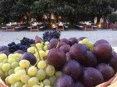 Grape Wine in the Siena Tuscan  region. All Rights Reserved GUIDI LENCI www.guidilenci.com