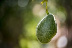 It may seem counterintuitive to wash fruit with inedible peels, such as avocados and bananas, but germs spread easily. That's why you should always wash your avocado. Avocado Plant, Ripe Avocado, Avocado Facts, Avocado Recipes, Bananas, Fruit, Banana, Fanny Pack, Advocare Recipes