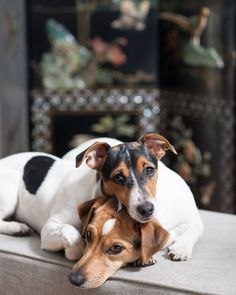 Jack Russell Terrier - A Dog in One Pack - Champion Dogs Rat Terriers, Terrier Puppies, Bull Terrier Dog, Dogs And Puppies, Maltese Puppies, Chihuahua Dogs, Terrier Mix, Jack Russell Dogs, Jack Russell Terrier