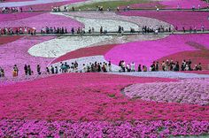 The Fuji Shibazakura Festival is held from late April to late May at Fuji Motosuko Resort in Fujikawaguchiko. The festival features 80,000 blooming Shibazakura (mountain phlox flowers) that fill 6 acres of gently sloping hills with brilliant red, pink and white flowers. #travelcompanion
