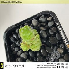 CRASSULA COLUMELLA IN STOCK $30 Succulents For Sale, Griddle Pan, Blueberry, Fruit, Food, Berry, Grill Pan, Blueberries, Meals