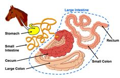Hind gut fermenting digestive system