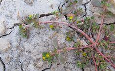 'La verdolaga se comercializa en Sudamérica como una verdura muy nutritiva'  Fue cultivada en la Antigua Grecia y que en la actualidad continúa cultivándose y vendiéndose en los mercados de... #botanico #nutricion