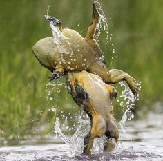 Two bullfrogs recreate the iconic Dirty Dancing lift to prove no frog should be put in the corner Wildlife Safari, Wildlife Nature, Dirty Dancing, Funny Animals, Cute Animals, Wildlife Biologist, Le Zoo, In Natura, Cute Frogs