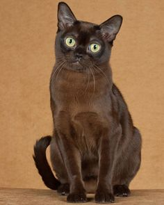 Burmese  Burmese are extremely people-oriented; their personalities are almost doglike in a tendency to shadow their owners and in a desire to give and receive affection. Many Burmese have delighted their humans by learning to retrieve, as well.