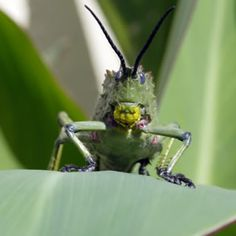 Tips to get rid of grasshoppers... 2 of which are garlic or strong coffee spray